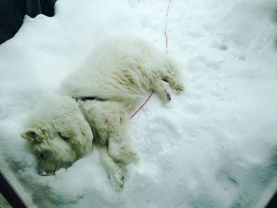 """Angelina loves the snow so much she took a nap in it. Angelina is a friendly 4-year-old Samoyed. """"She loves the snow but with her white coat, it is sometimes difficult to see her,"""" says her owner Gina Peca of Saratoga. """"I'm glad someone in the family is enjoying the cold weather."""" (Gina Peca)"""
