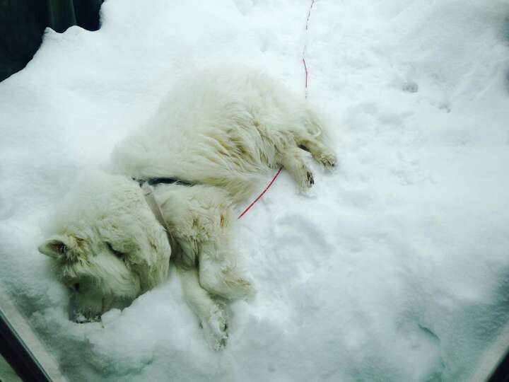 Angelina loves the snow so much she took a nap in it. Angelina is a friendly 4-year-old Samoyed.