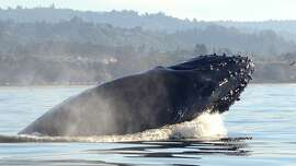 A humpback whale, spending the winter in Monterey Bay, breaches just a short distance from the shoreline.
