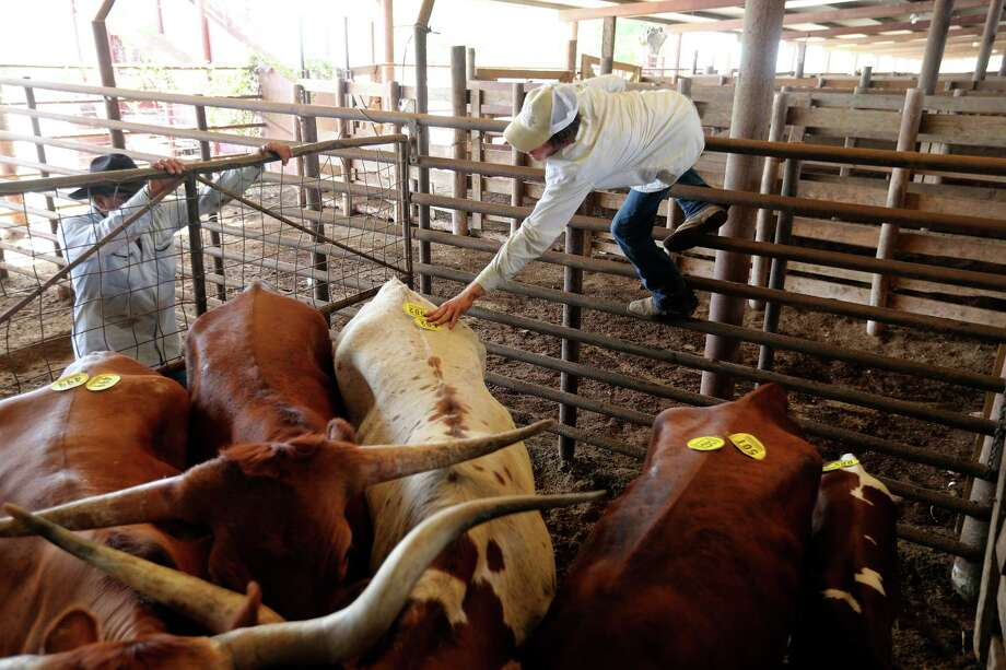 Henry Cruz, left, and C.J. Lewis tag longhorn cattle at the Karnes County Livestock Exchange during the weekly auction in Kenedy. Photo: JERRY LARA, Staff / © 2013 San Antonio Express-News