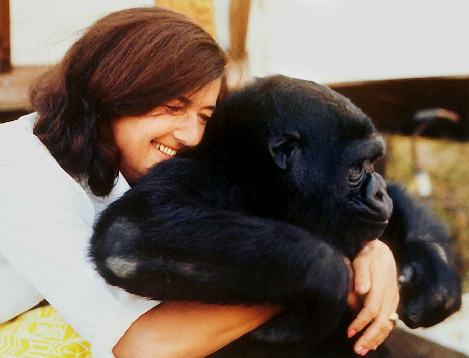A San Francisco native, Fossey remains one of the most well-known zoologists who wrote about her research with endangered gorillas in Rwanda in her memoir, Gorillas in the Mist. Her legacy lives on via the fund named for her. Photo: Courtesy Photo