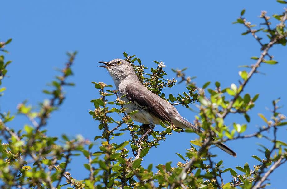 Springtime songs include those from the northern mockingbird.   Photo: Kathy Adams Clark / Kathy Adams Clark/KAC Productions