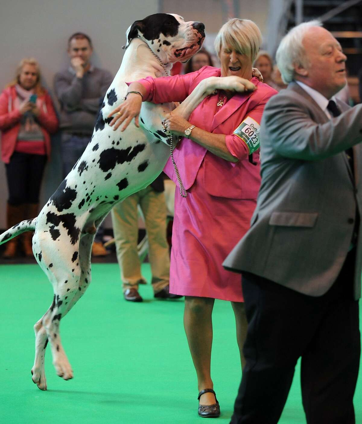 I WON! I WON! I WON! A Great Dane gets a little excited after taking first place in its class at the Crufts dog show in Birmingham, England.