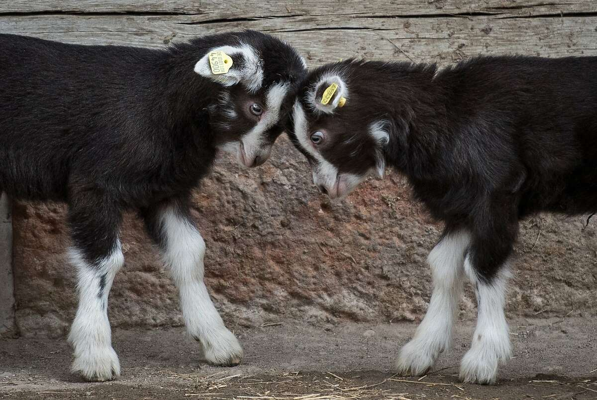 TODAY'S GRAMMAR GOAT TIP: In compound sentences, two independent clauses can be connected with a butt. (Thuringian goats in Hannover, Germany.)