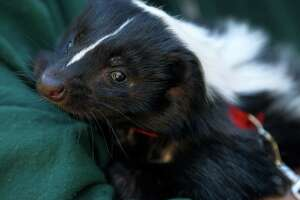 Skunks stinking up the state looking for love - Photo