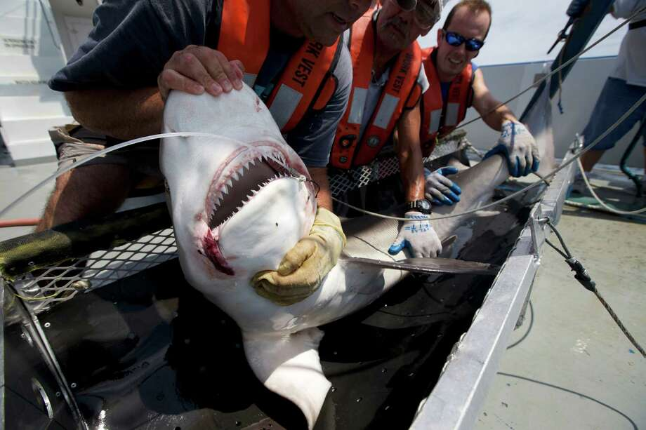 Marcus Drymon, left, of the University of South Alabama, and a research team, control a big shark's powerful jaws to allow measuring and tagging before the shark is released, summer 2014. Drymon is seeking crowd-source funding for a study of juvenile tiger sharks' diet. Photo: 212019000208, David Hay Jones,  Science Photo Library