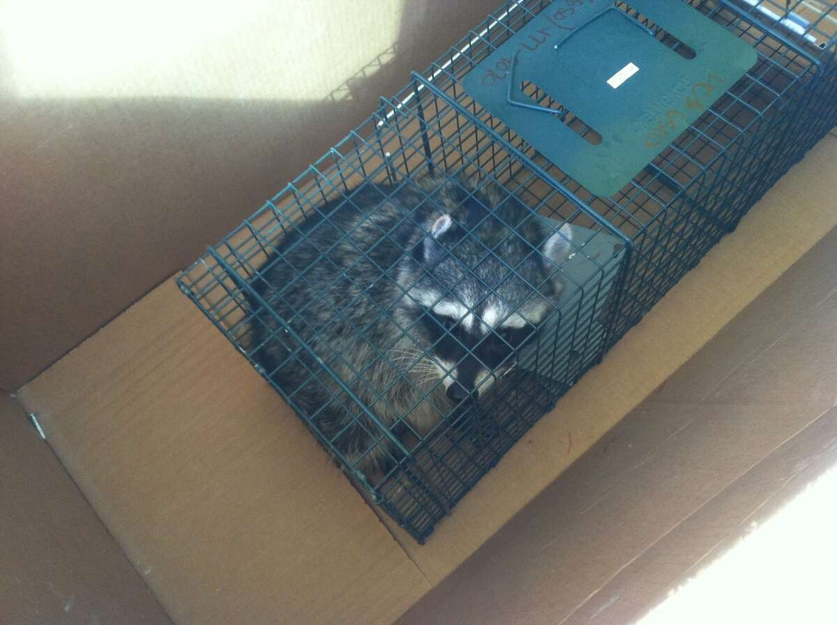 A raccoon that was trapped at SFMOMA's expansion project is seen in a cage. Todd Sutton, 49, a carpenter at the project, was fired for releasing the animal before it could be euthanized.