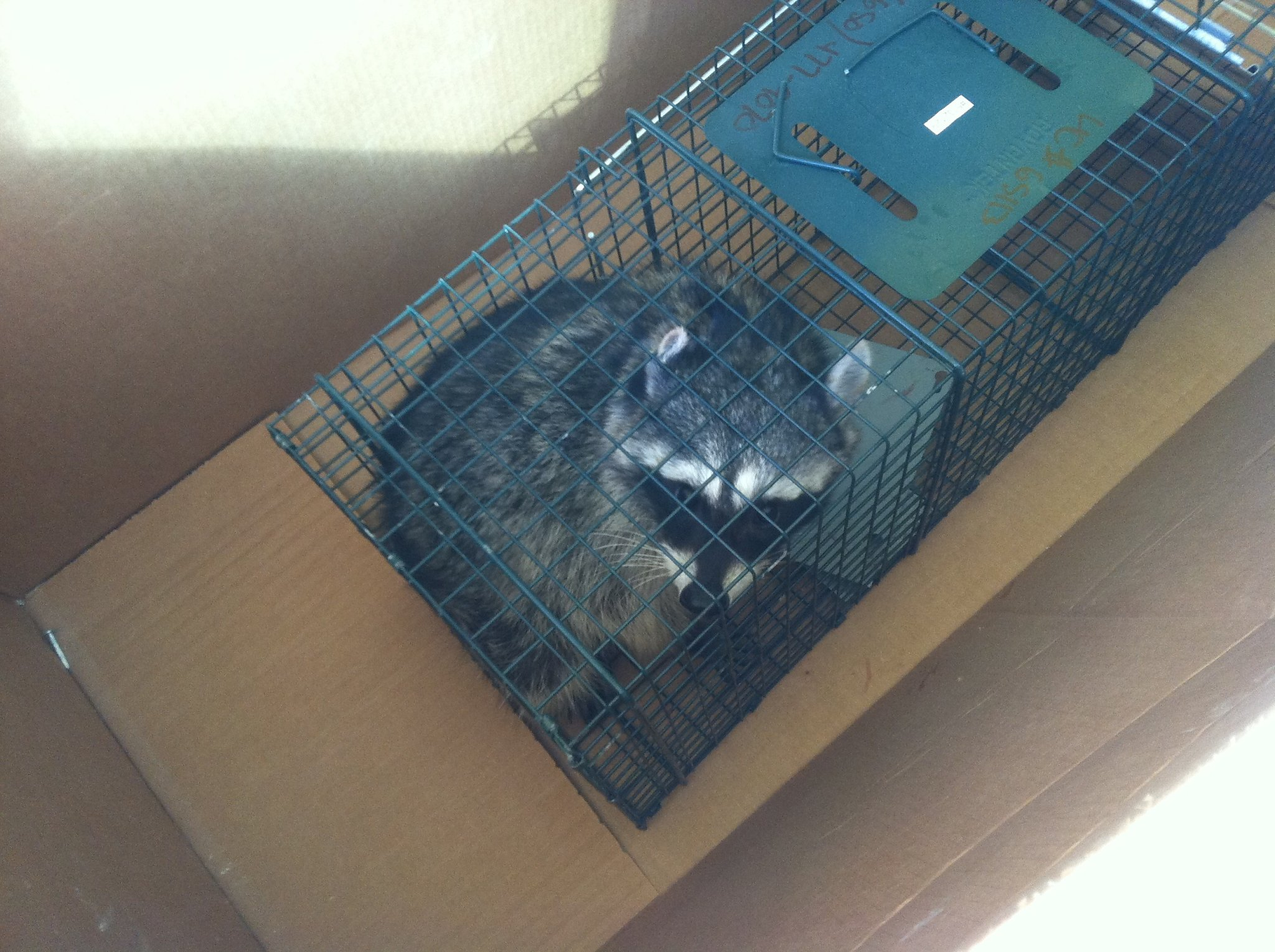 brace and bit raccoon trap. carpenter fired for saving raccoon from trap at construction site - sfgate brace and bit