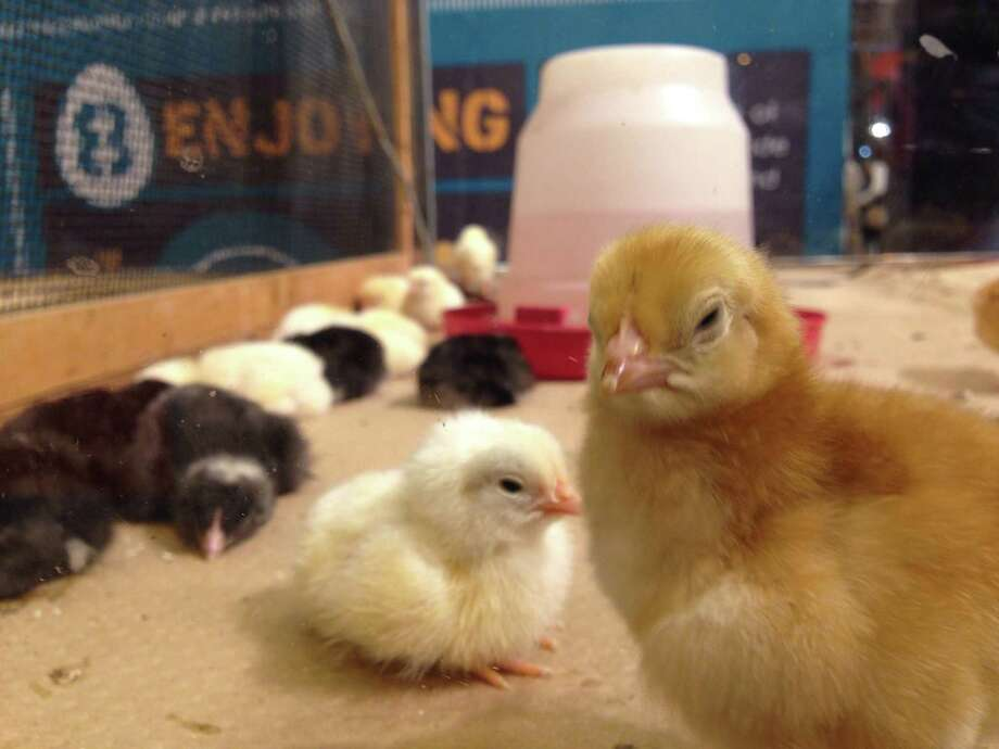 Newly hatched baby chickens at the Agventure center at RodeoHouston 2015. Photo: Craig Hlavaty | Houston Chronicle