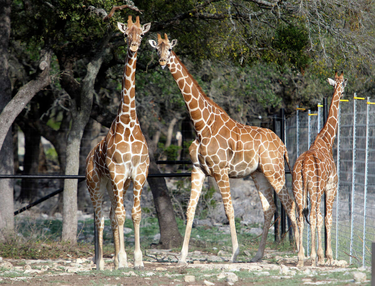 NATURAL BRIDGE WILDLIFE RANCH Giraffes and dozens of other exotic animals are starring attractions at this 450-acre drive-through safari park.