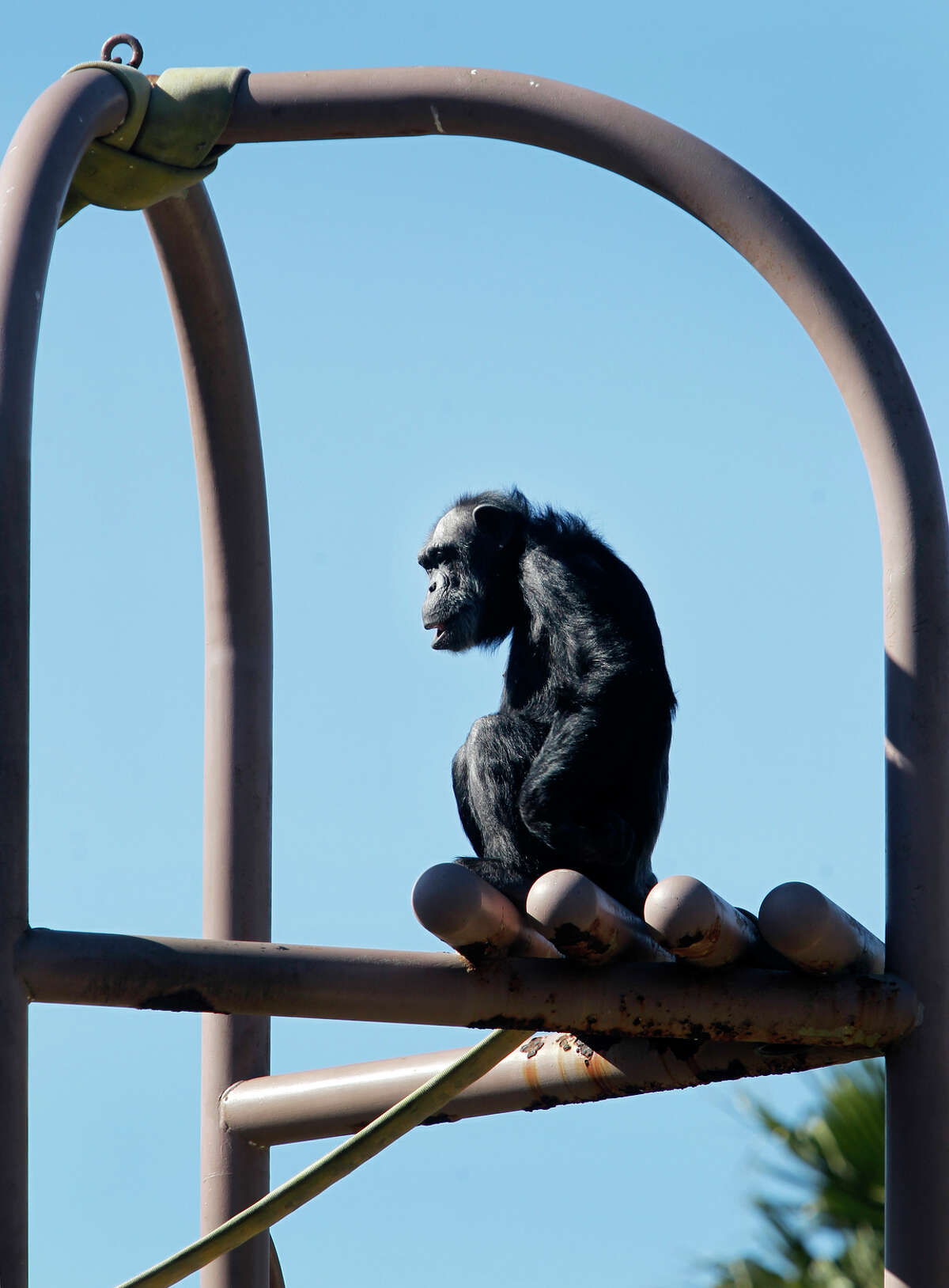 Maggie looks out over the chimpanzee enclosure, which needs to be upgraded if the S.F. Zoo wants to keep the primates and its accreditation.