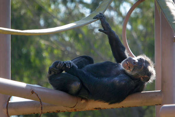 Minnie relaxes at the San Francisco Zoo, which is trying to raise funds to build a new chimpanzee enclosure.