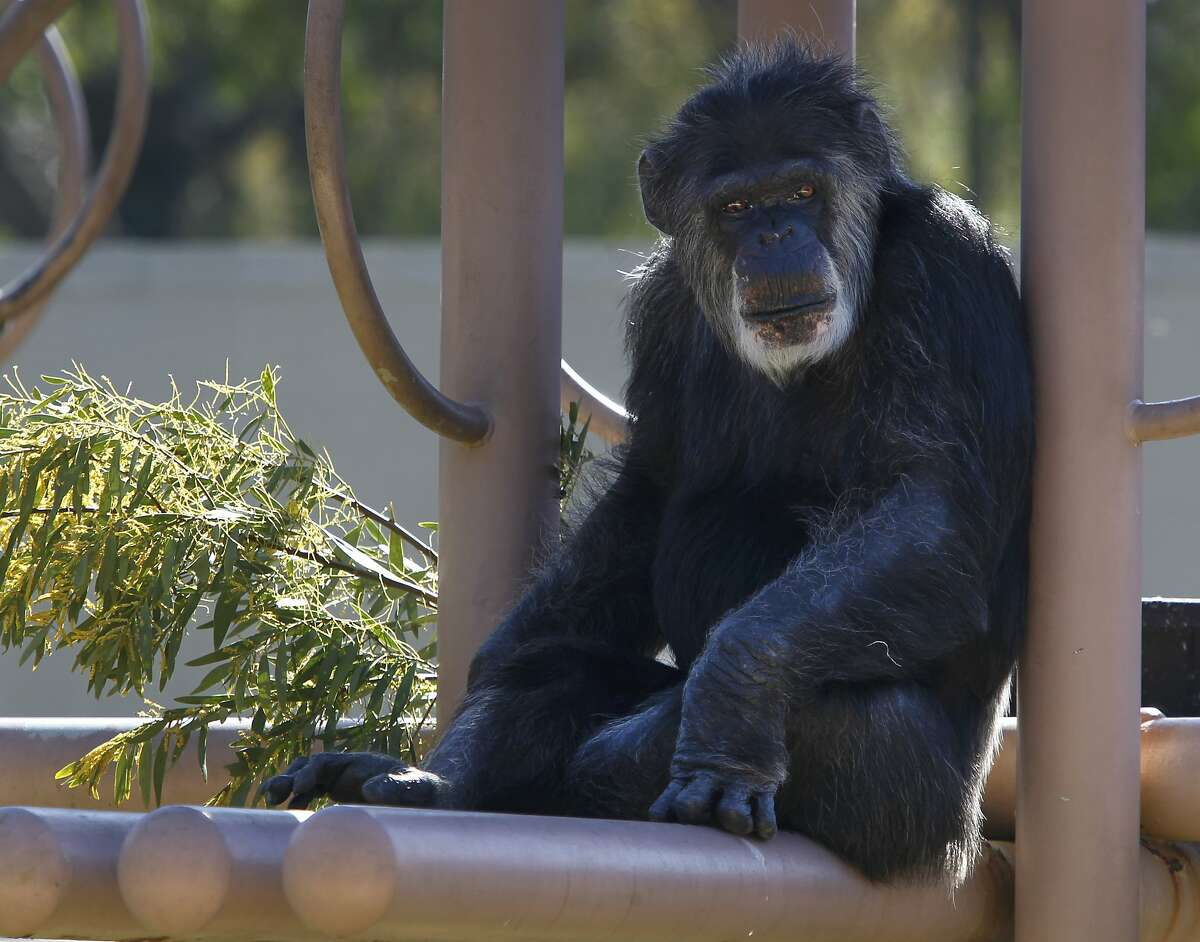 Cobby hangs out in the chimpanzee enclosure at the San Francisco Zoo in San Francisco, Calif. on Friday, March 6, 2015. The primates have been at the zoo for over 45 years. Zoo officials are launching a fundraising campaign to renovate or rebuild the longtime zoo residents' exhibit and night quarters.