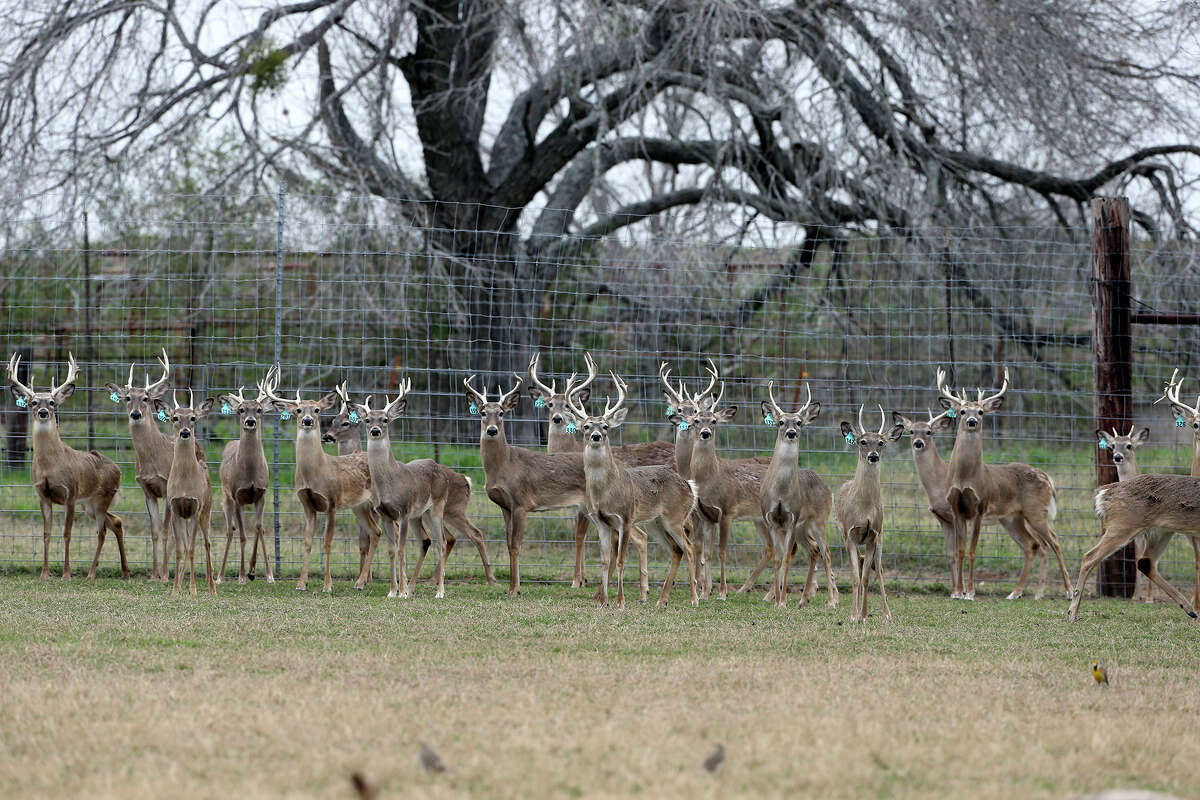 Younger bucks herd together in a pen as Gery Moczygemba shows his deer breeding operation in Karnes County on February 14, 2015