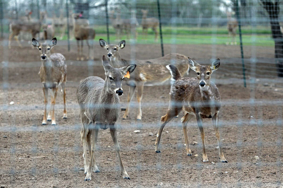 Prize whitetail deer hang out together in a pen as Gery Moczygemba shows his deer breeding operation in Karnes County on February 14, 2015
