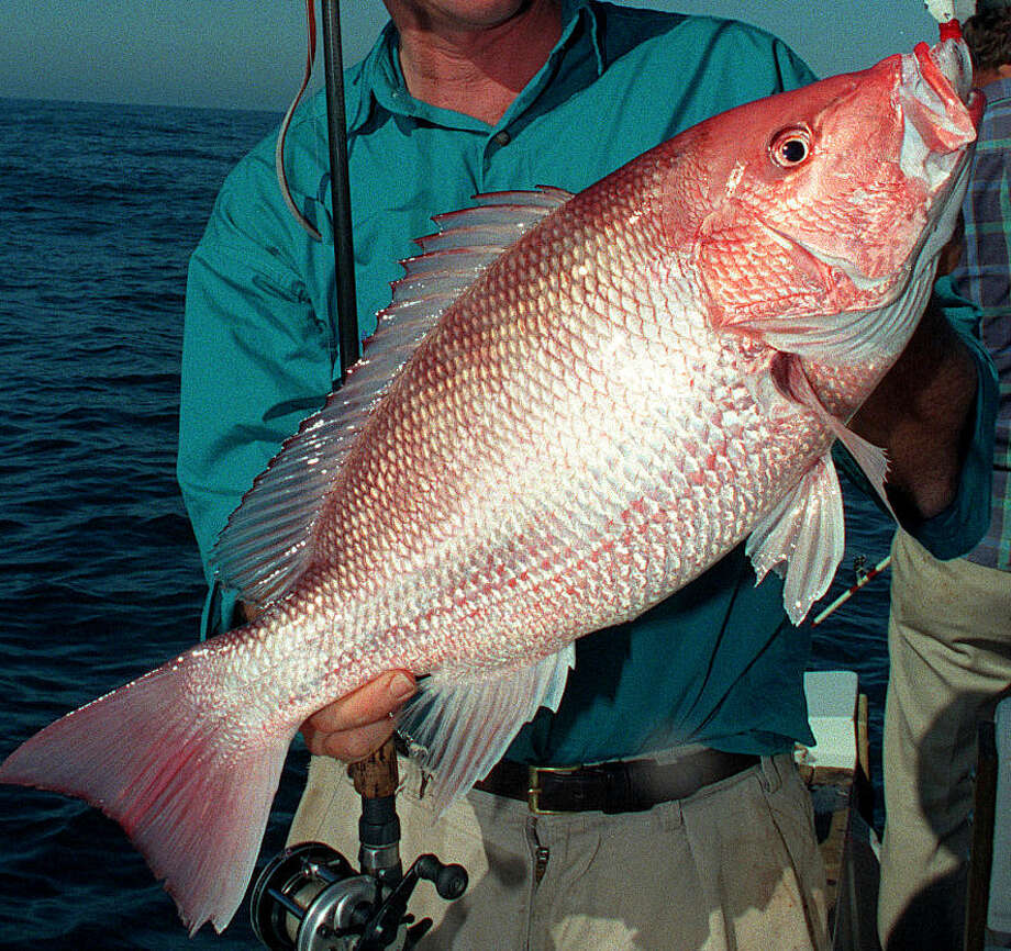 Despite a booming red snapper population that has fisheries managers proposing increasing the annual catch quota to record level,  the 2015 recreational fishing season for red snapper in federal waters of the Gulf of Mexico, set to begin June 1, could be open for less than a week for anglers aboard private boats. Photo: SHANNON TOMPKINS, Staff / HOUSTON CHRONICLE