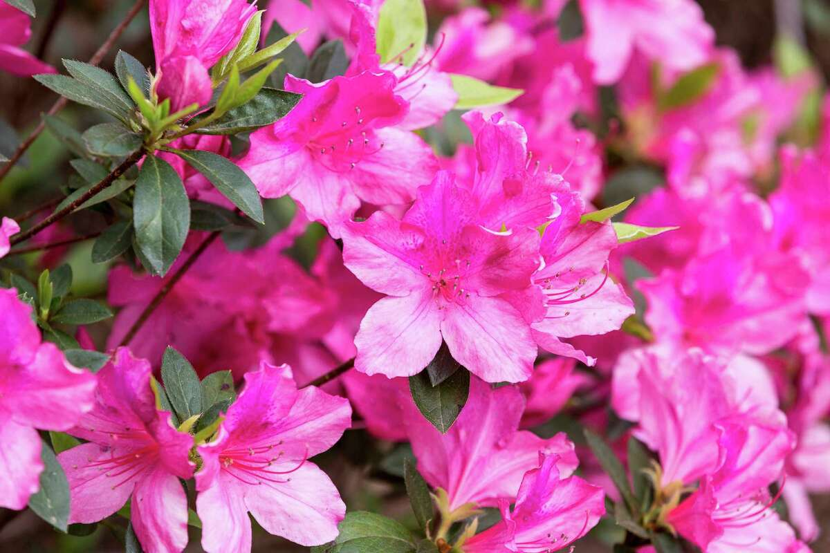 The 3-day Azalea Trail kicked off and thousands visited Bayou Bend Gardens and other Azalea Trail locations to enjoy the sights and weather.