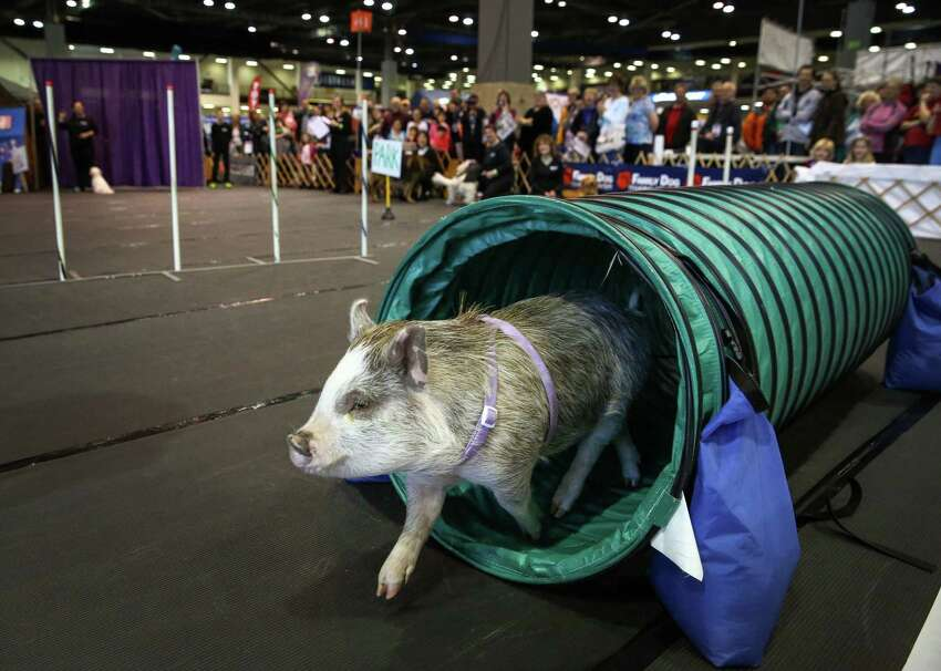 Amy, a 45-pound miniature pig, completes an agility course during an exhibition at the Seattle Kennel Club's annual Dog Show at CenturyLink Field Events Center. Amy became famous after word got out that the pig was one of the top students in a dog obedience class. The dog show features agility competitions, obedience trials, and the all-breed dog shows. Photographed on Saturday, March 7, 2015.