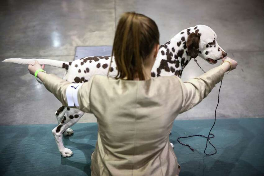 A dalmatian competes during the Seattle Kennel Club's annual Dog Show at CenturyLink Field Events Center. The dog show features agility competitions, obedience trials, and the all-breed dog shows. Photographed on Saturday, March 7, 2015.