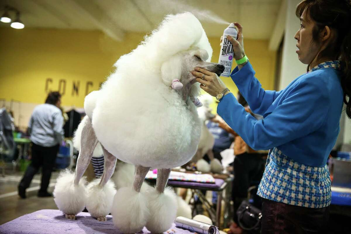 Kaori Kuroyama grooms Lulu, a standard poodle, during the Seattle Kennel Club's annual Dog Show at CenturyLink Field Events Center. The dog show features agility competitions, obedience trials, and the all-breed dog shows. Photographed on Saturday, March 7, 2015.