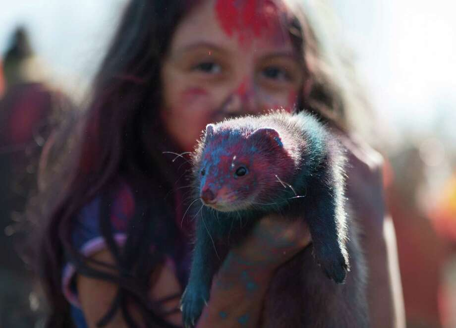 Abril Guerra holds up her pet ferret, Dulce, dusted with purple and blue powder at the annual Holi festival in Bellevue. During Holi, people gather to welcome the arrival of spring and toss colored powder in celebration.  This festival is also a fundraiser for CRY, a child rights organization. Photographed on Saturday, March 7, 2015. Photo: DANIELLA BECCARIA, SEATTLEPI.COM / SEATTLEPI.COM