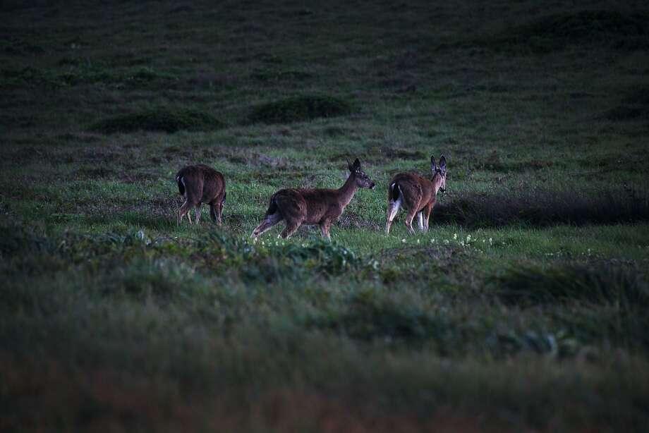 Deer in Point Reyes. Photo: Sophia Germer, The Chronicle