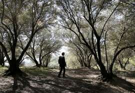 Glen Lewis of the Muir Heritage Land Trust,  walks through a grove of olive trees on the forty four acres site adjacent to the John Muir National Historic site in Martinez, Ca. as seen on Thurs. March 5, 2015. Legislation introduced by U.S. Senator Barbara Boxer, D-Ca. and Congressman Mark DeSaulnier, D-Ca. would expand the John Muir National Historic Site and authorize the National Park Service to acquire the adjacent land on Wanda Mountain.