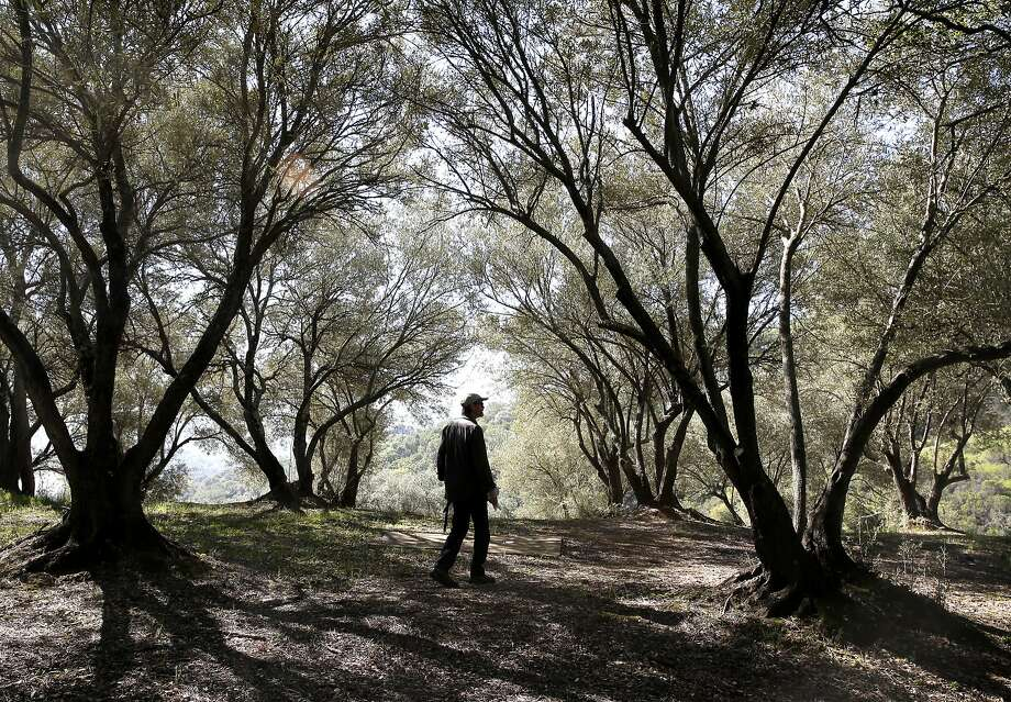 Glen Lewis of the Muir Heritage Land Trust,  walks through a grove of olive trees on the forty four acres site adjacent to the John Muir National Historic site in Martinez, Ca. as seen on Thurs. March 5, 2015. Legislation introduced by U.S. Senator Barbara Boxer, D-Ca. and Congressman Mark DeSaulnier, D-Ca. would expand the John Muir National Historic Site and authorize the National Park Service to acquire the adjacent land on Wanda Mountain. Photo: Michael Macor, The Chronicle