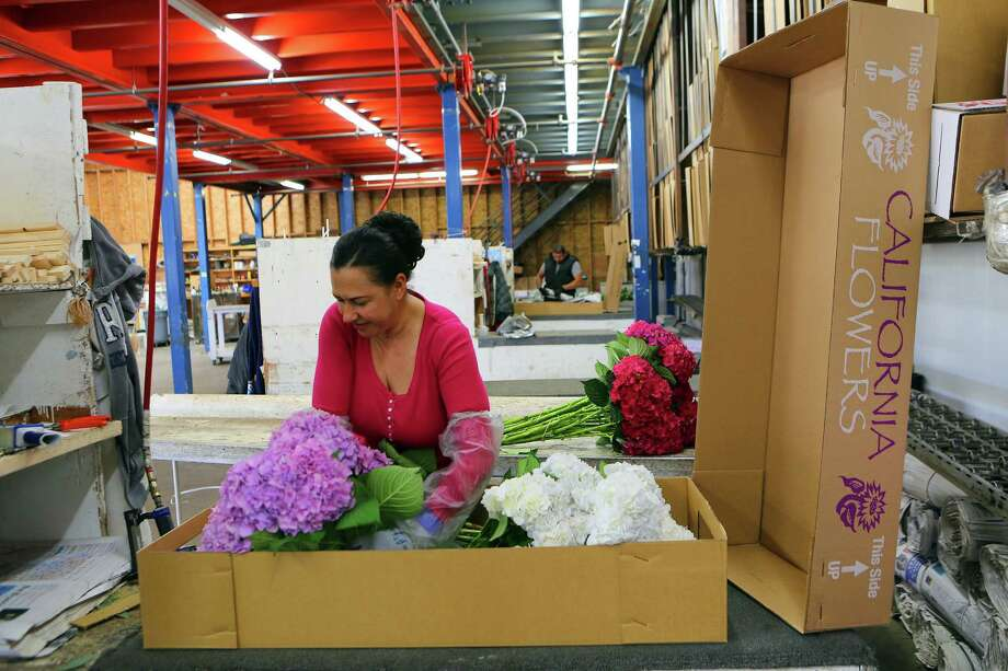 Manuela Rodriguez packages flowers for shipment at Central California Flower Growers in Watsonville, Calif. Of all the country's major racial and ethnic groups, only Hispanics, as of late last year, had returned to their unemployment levels before the recession, according to a recent economic report. Photo: Jim Wilson /New York Times / NYTNS
