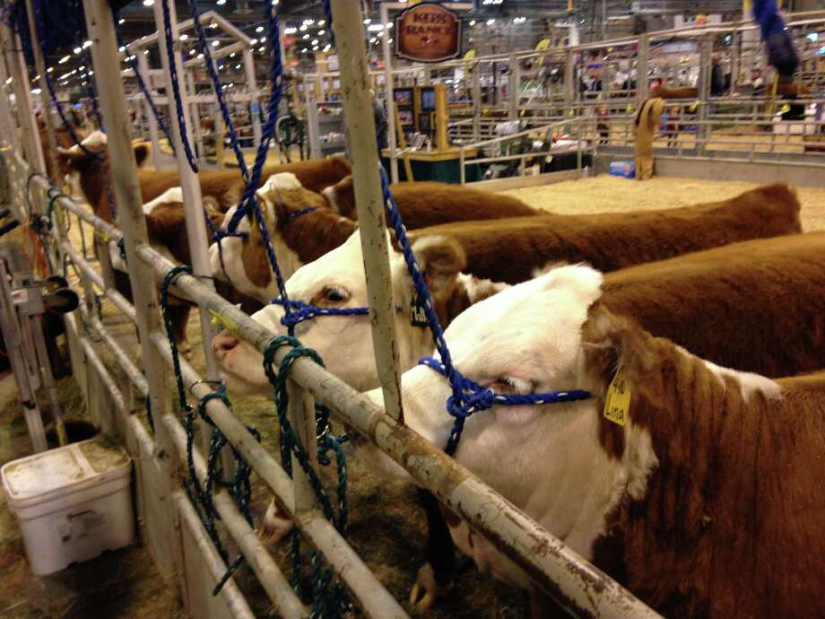 Miniature Herefords from Splitt Creek Ranch in North Platte, Nebraska are pictured at RodeoHouston. Photo: Andrea Rumbaugh / Houston Chronicle