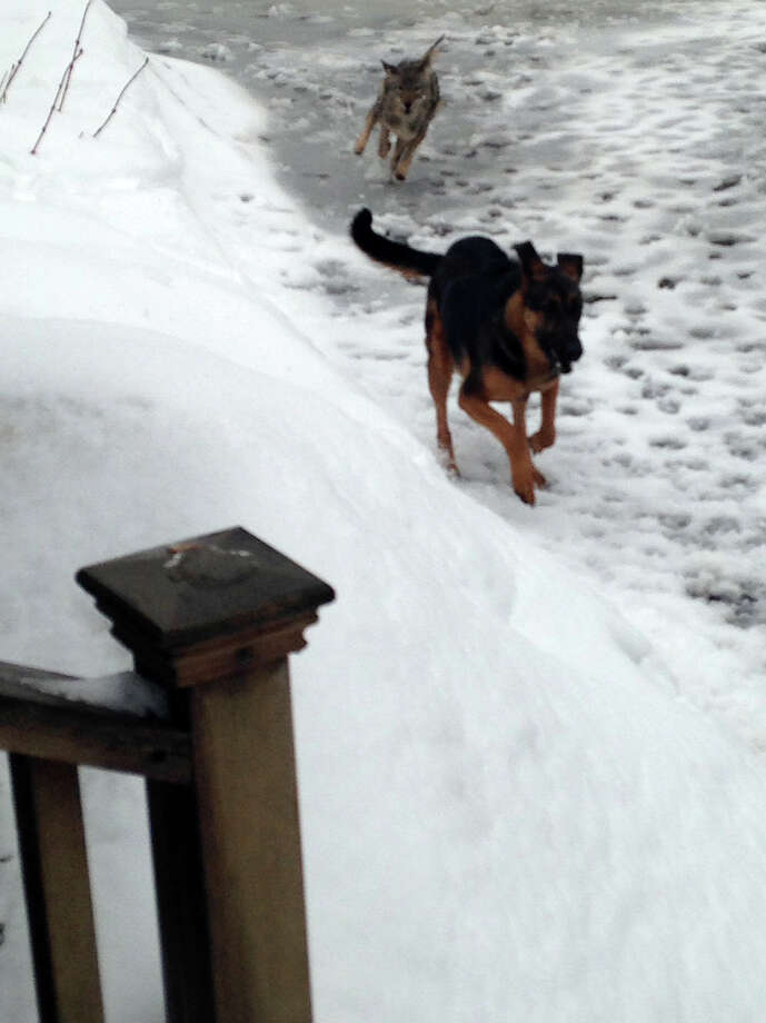 A resident of  Dogwood Court in Stamford, Conn. snapped photos of her dog being chased by a coyote just before it ran into the house. Stamford police provided the photo to the news media Monday, March 9, 2015. Photo: Contributed Photo, Stamford Police Dept. / Stamford Advocate  contributed