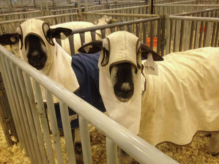 Sheep robes Animals in the livestock show should look flawless to win. They're judged on posture, behavior, upkeep and cleanliness. But anyone who's ever bathed a dog knows the critters don't stay clean for long, so what to do between a sheep's final grooming and the show? Enter sheep robes.