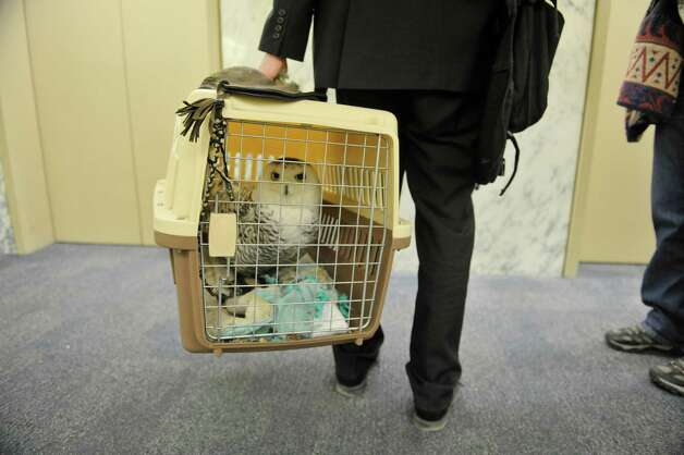 Cara an injured snowy owl is carried by Sean Mahar, director of government relations for Audubon New York as Mahar and Cara and Wendy Hall with Adirondack Wildlife Refuge and Rehab Center visited legislators at the Legislative Office Building on Monday, March 9, 2015, in Albany, N.Y.  Mahar and Hall were visiting legislators to stress the importance of increasing funding in the budget for the Environmental Protection Fund.  Cara was found injured in Malone and her wing can not be repaired because of where the break is.  People from about 70 organizations and businesses who support increasing the Environmental Protection Fund in the State Budget were in Albany on Monday talking to legislators.    (Paul Buckowski / Times Union) Photo: PAUL BUCKOWSKI / 00030940A
