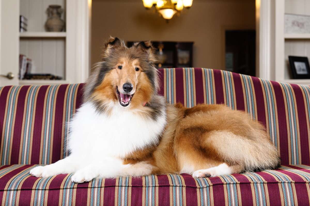 A female collie named Twix has been selected to become Reveille IX, Texas A&M's next mascot, on May 9, 2015. See more photos of the best known dog in Texas.