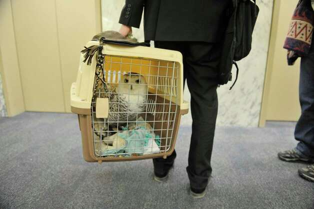 Cara an injured snowy owl is carried by Sean Mahar, director of government relations for Audubon New York as Mahar and Cara and Wendy Hall with Adirondack Wildlife Refuge and Rehab Center visited legislators at the Legislative Office Building on Monday, March 9, 2015, in Albany, N.Y.  Mahar and Hall were visiting legislators to stress the importance of increasing funding in the budget for the Environmental Protection Fund.  Cara was found injured in Malone and her wing can not be repaired because of where the break is.  People from about 70 organizations and businesses who support increasing the Environmental Protection Fund in the State Budget were in Albany on Monday talking to legislators.    (Paul Buckowski / Times Union) Photo: PAUL BUCKOWSKI, Albany Times Union / 00030940A