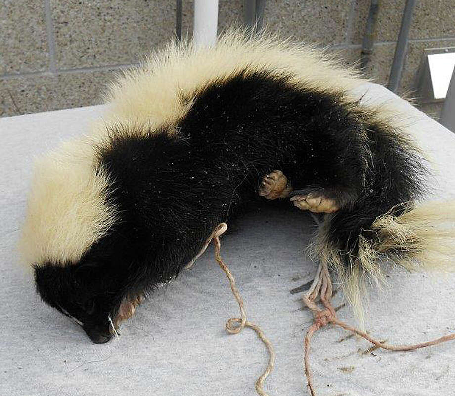 "One of the two dead skunks found dead at a utility pole at Park and Jackman avenues, along with a sign that read: ""Obama Stinks."" Photo: Fairfield Police Department / Fairfield Citizen"