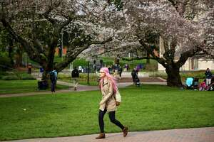A student walks past as Yoshino cherry trees bloom at the University of Washington. The trees were planted in 1939 at the Washington Park Arboretum and were later relocated to the quad on the UW campus when the Evergreen Point Floating Bridge was built. The blooms have not yet peaked but are adding plenty of color to the UW campus. Photographed on Tuesday, March 10, 2015.
