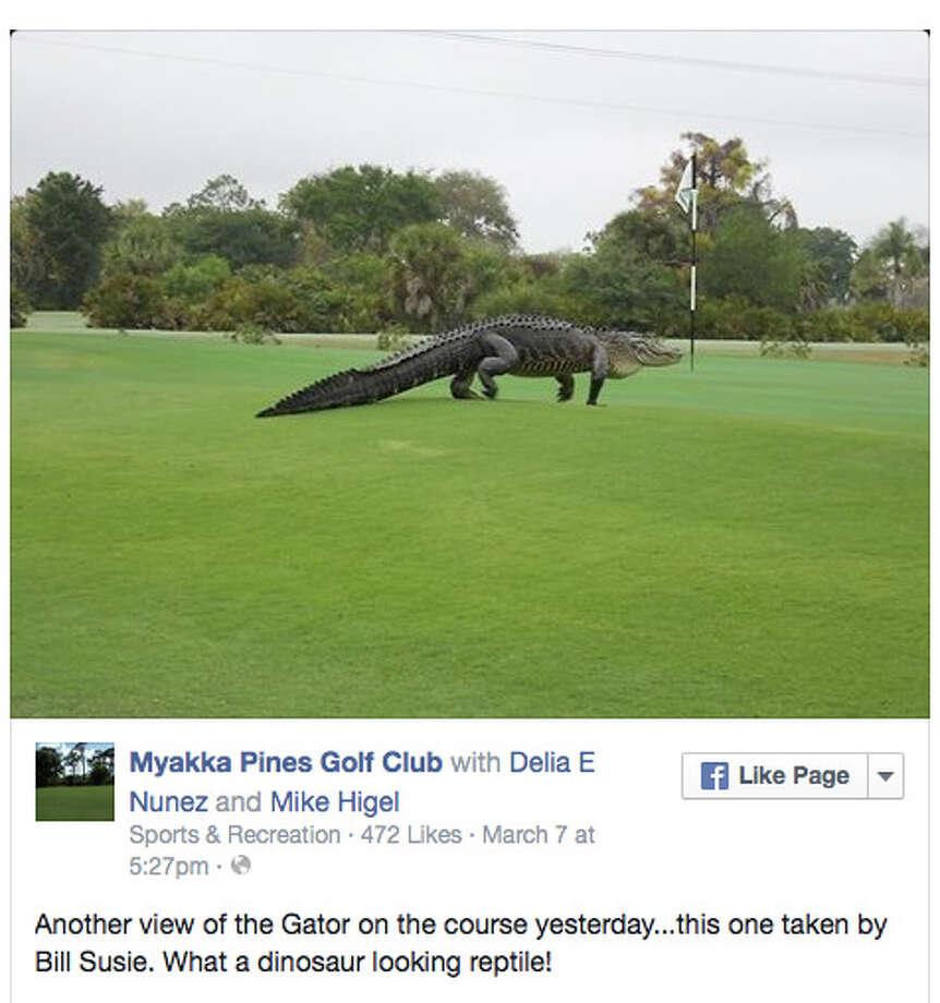 Let's let him play through. (Myakka Pines Golf Club in Palm Beach, Fla.) Photo: Facebook