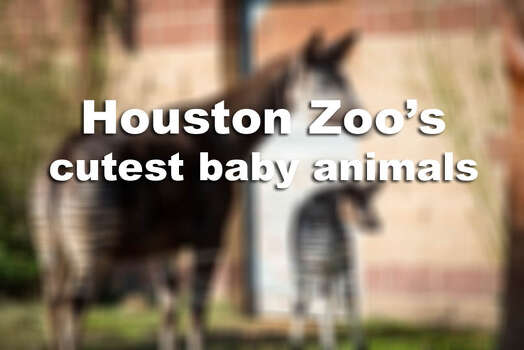 These are the cutest baby animals ever featured at the Houston Zoo. Photo: Houston Zoo