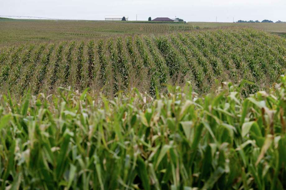 With estimated U.S. corn production at 13.6 billion bushels, producers have as much corn as they need to run full-bore, analysts for Bloomberg Intelligence wrote in a separate report. Photo: Associated Press File Photo / AP