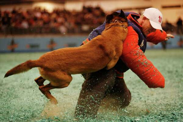 """""""Tango,"""" a Belgian Malinois/German Shepherd mix with the Harris County Constable's Office attacks trainer Jason Stanze during the Hard Dog/Fast Dog Event at the Houston Livestock Show and Rodeo Sunday, March 8, 2015, in Houston."""