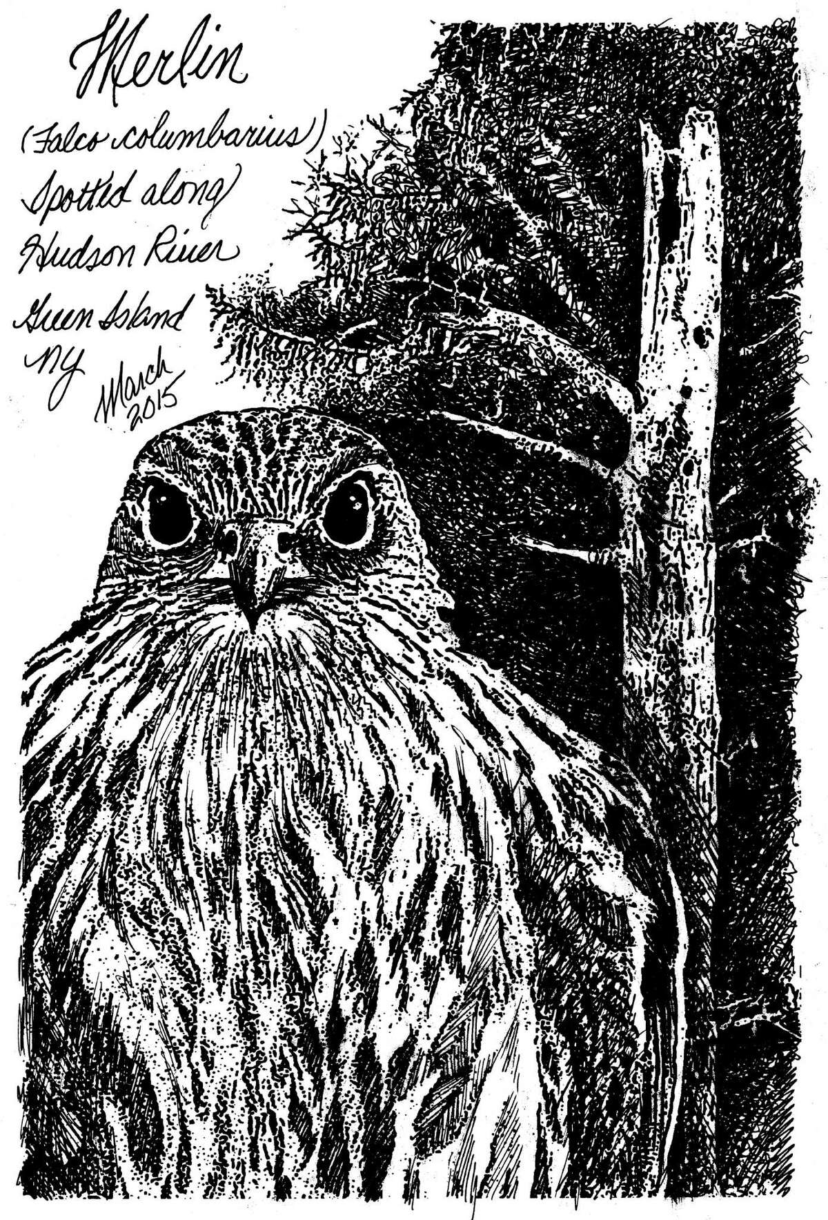 The Merlin is a small but powerfully muscular broad chested falcon with sharply pointed wings and piercing dark eyes topped with thin white eyebrows. They live and nest along forest edged waterways and shorelines across New York and north into Maine. (Carol Coogan)
