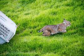 Bobcat emerges from pet carrier after being released at ranch near Brentwood in Contra Costa County -- bobcat became entangled in barb wire fence last October and was discovered with severe puncture wound near neck. The animal was rehabbed for six months at Lindsay Wildlife Rehabilitation Hospital in Walnut Creek. Bobcat rescue, rehabs and release are very rare.