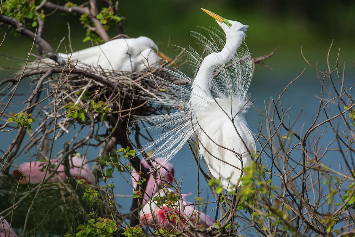 Great egrets and other water birds parade their spring plumage at the rookery at Houston Audubon Society's Smith Oaks Bird Sanctuary in High Island. The society received $239,800 in proceeds from a fine levied against BP after the 2010 Gulf oil spill to restore and enhance the sanctuary on the Bolivar Peninsula. Photo Credit: Kathy Adams Clark. Restricted use.