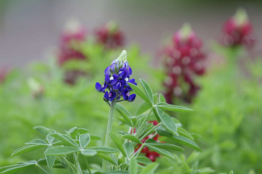 Bluebonnets in blue and maroon are beginning to bloom in a raised bed at Mitchell Lake Audubon Center.  Photo: Jerry Lara /San Antonio Express-News / © 2015 San Antonio Express-News
