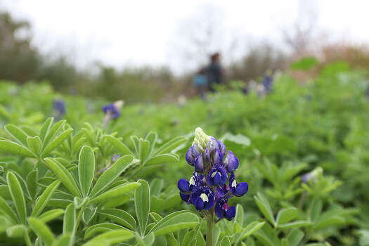 A thick patch of bluebonnets promises more flowers along a trail at Mitchell Lake Audubon Center, Wednesday, March 11, 2015. Photo: Jerry Lara /San Antonio Express-News / © 2015 San Antonio Express-News