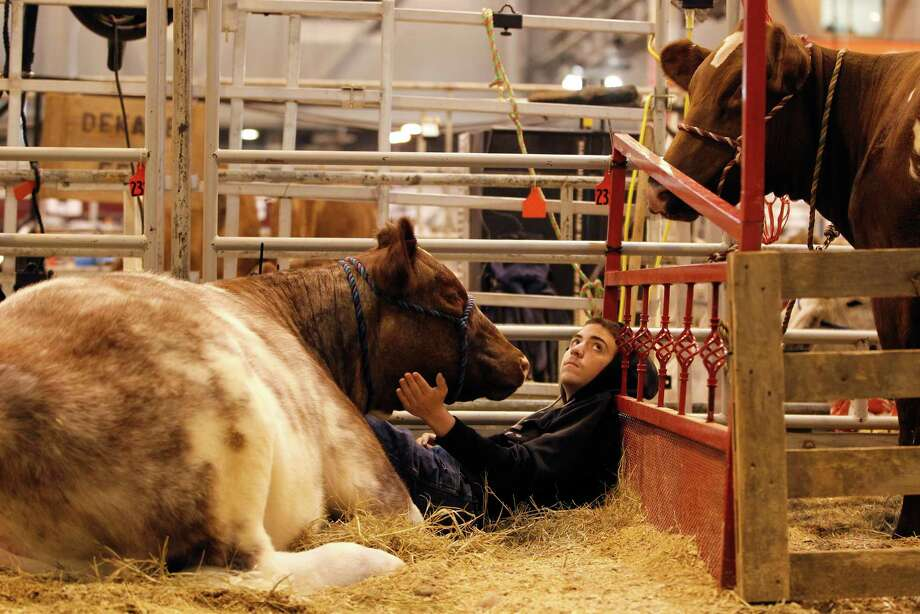 "A.J. Ollis, 14, of Spring, sits with his heifer ""Luck Be A Lady"" as he looks up at his friend's heifer, as they wait for Sunday's Junior Breeding heifer show during the Houston Livestock Show and Rodeo at NRG Center, Friday, March 13, 2015, in Houston. Photo: Karen Warren, Houston Chronicle / © 2015 Houston Chronicle"