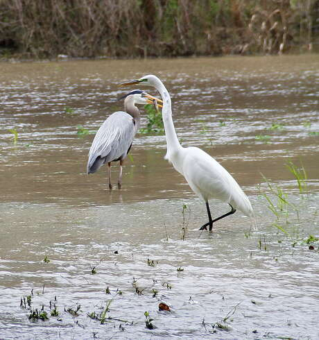 As a great egret stalks a meal, a great blue heron holds a crawfish it plucked from the temporary wetland habitat created by recent minor flooding along the San Jacinto River. Photo: Picasa