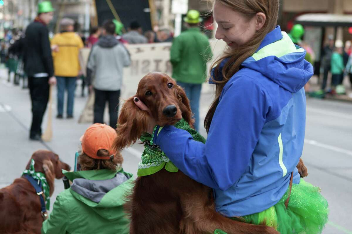 An Irish Setter hugs its owner at the annual St. Patrick's Day Parade in downtown Seattle. Photographed on Saturday, March 14, 2015.
