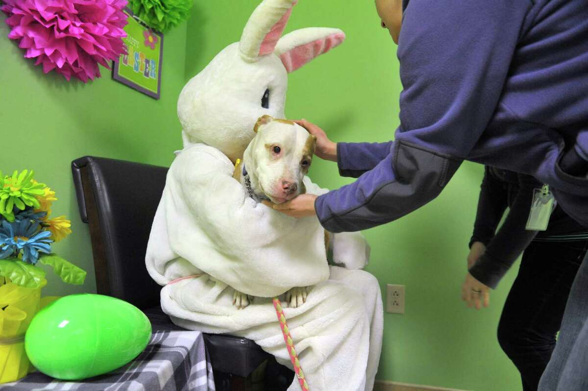 Robin a 7-year-old bull terrier from the Mohawk Hudson Humane Society, is placed on the lap of Lisa Muscatello, who plays the part of the Easter Bunny. Tina Vogel, a volunteer with the humane society, sets up Robin for her photo during a fund raising event at Pet Spas and Suites on Sunday, March 15, 2015, in Colonie, N.Y. Robin is available for adoption. (Paul Buckowski / Times Union)